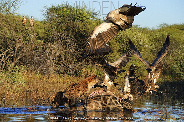 Spotted Hyena (Crocuta crocuta) chasing Cape Vulture (Gyps coprotheres) and White-backed Vultures (Gyps africanus) from zebra carcass, Botswana  -  Sergey Gorshkov