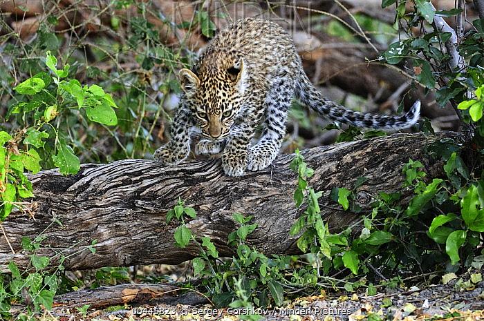 Leopard (Panthera pardus) cub, Botswana  -  Sergey Gorshkov