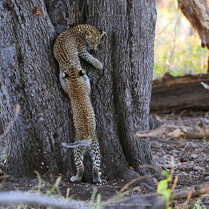 Leopard (Panthera pardus) cubs playing, Botswana  -  Sergey Gorshkov