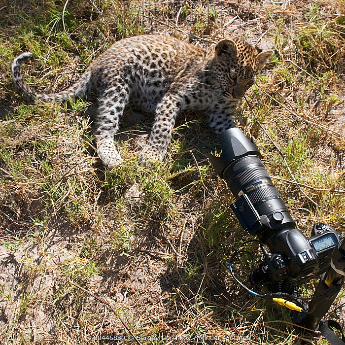 Leopard (Panthera pardus) cub next to remote camera, Botswana  -  Sergey Gorshkov