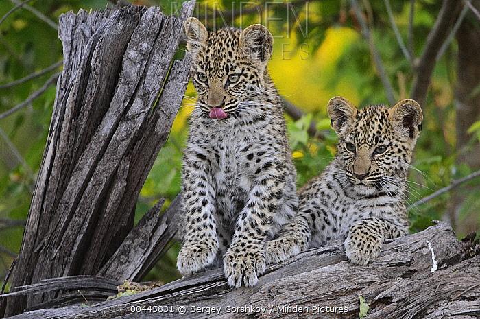 Leopard (Panthera pardus) cubs, Botswana  -  Sergey Gorshkov