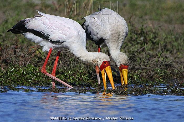 Yellow-billed Stork (Mycteria ibis) pair foraging, Botswana  -  Sergey Gorshkov