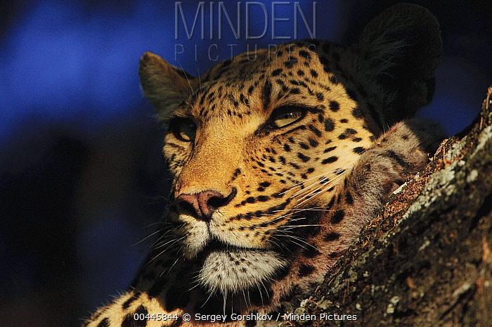 Leopard (Panthera pardus) in tree, Botswana  -  Sergey Gorshkov