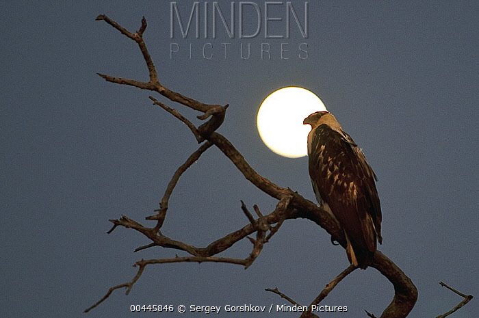 African Fish Eagle (Haliaeetus vocifer) juvenile at night, Botswana  -  Sergey Gorshkov