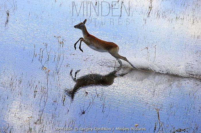 Lechwe (Kobus leche) female running through shallow water, Botswana  -  Sergey Gorshkov