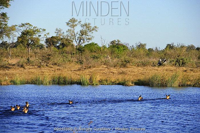 African Wild Dog (Lycaon pictus) pack swimming, Botswana  -  Sergey Gorshkov