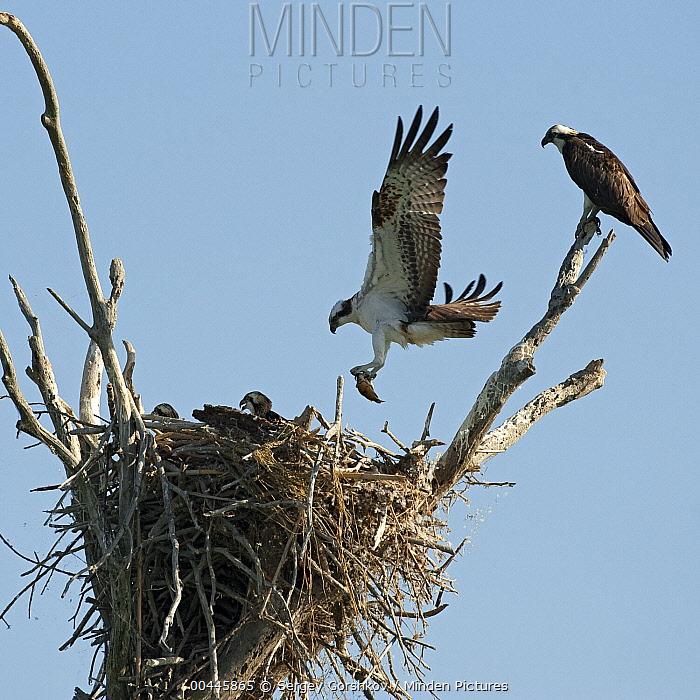 Osprey (Pandion haliaetus) bringing back fish to nest, Volga Delta, Russia  -  Sergey Gorshkov