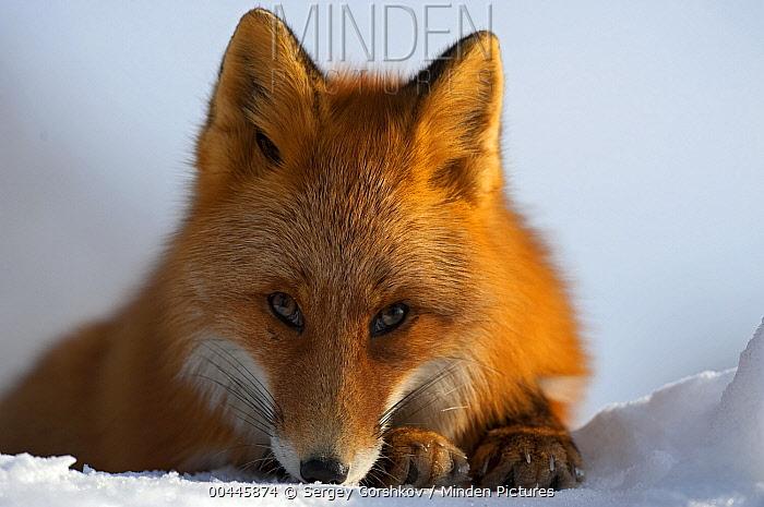 Red Fox (Vulpes vulpes) resting on snow, Kamchatka, Russia  -  Sergey Gorshkov