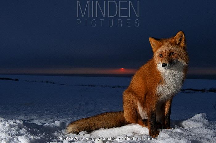 Red Fox (Vulpes vulpes) on snow at sunset, Kamchatka, Russia  -  Sergey Gorshkov