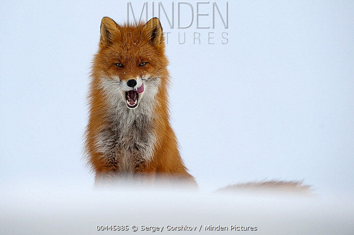 Red Fox (Vulpes vulpes) licking its chops, Kamchatka, Russia  -  Sergey Gorshkov