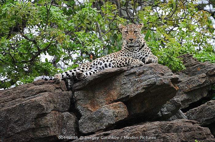 Leopard (Panthera pardus) on rocks, Botswana  -  Sergey Gorshkov