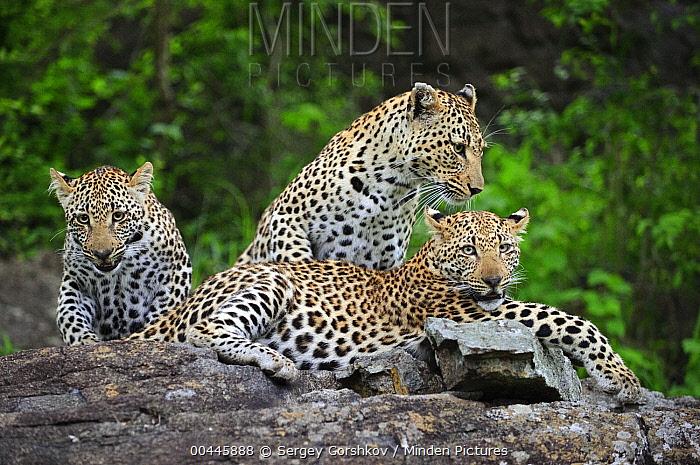 Leopard (Panthera pardus) female and cubs, Botswana  -  Sergey Gorshkov