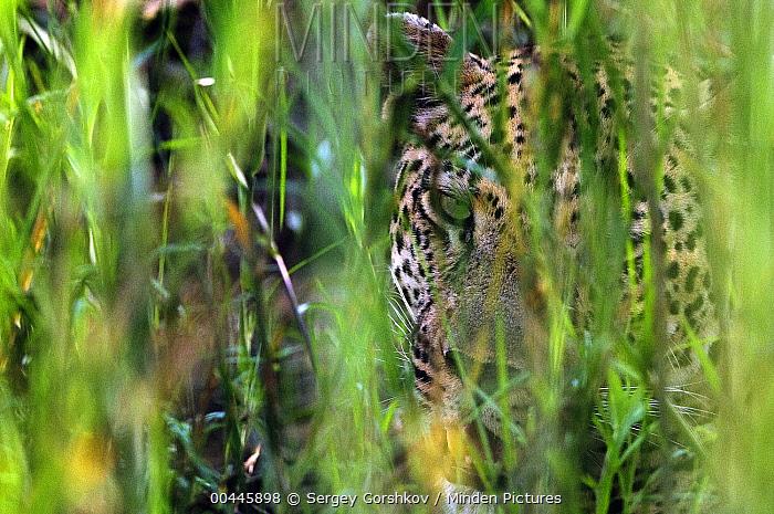 Leopard (Panthera pardus) hidden in brush, Botswana  -  Sergey Gorshkov