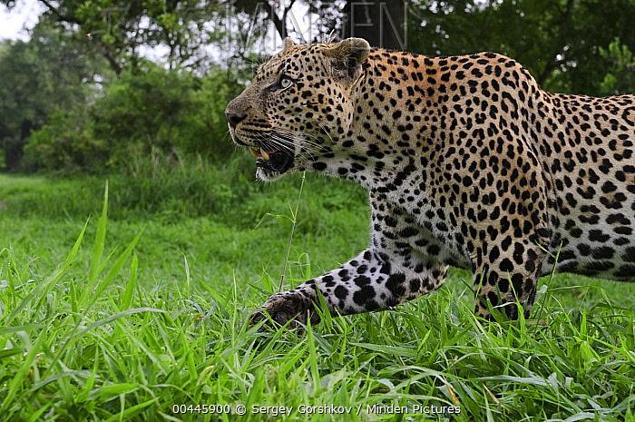 Leopard (Panthera pardus) stalking, Botswana  -  Sergey Gorshkov