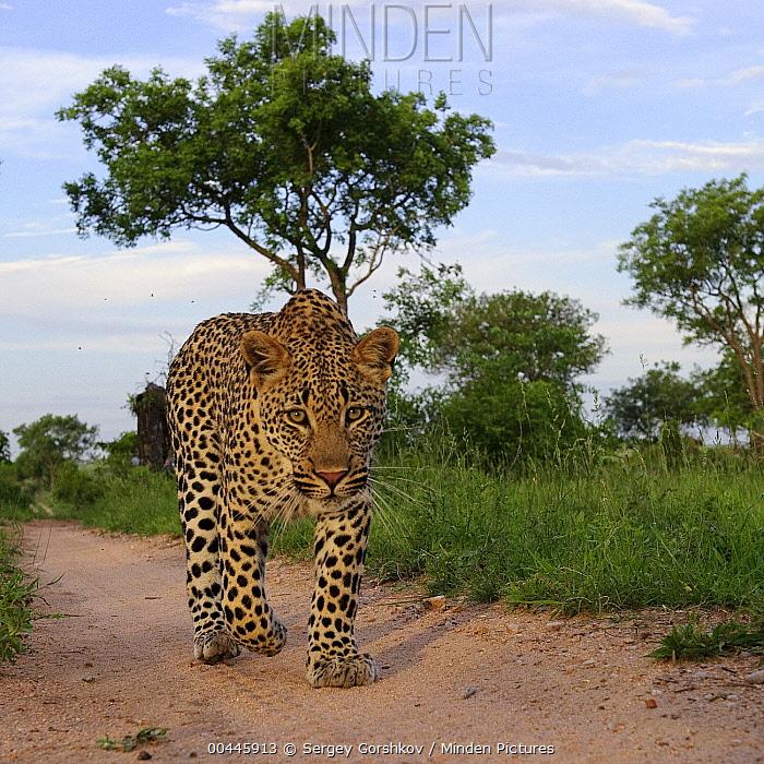 Leopard (Panthera pardus) walking, Botswana  -  Sergey Gorshkov