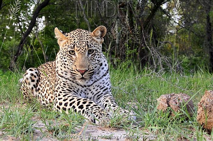 Leopard (Panthera pardus), Botswana  -  Sergey Gorshkov