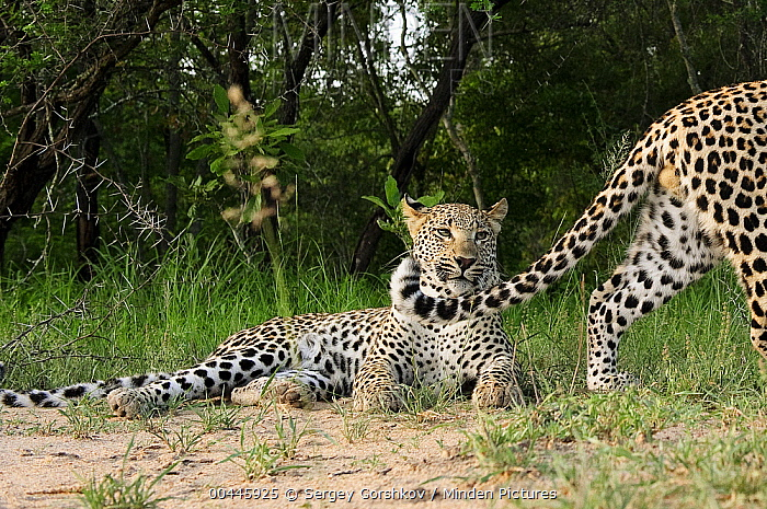 Leopard (Panthera pardus) male walking by female, Botswana  -  Sergey Gorshkov