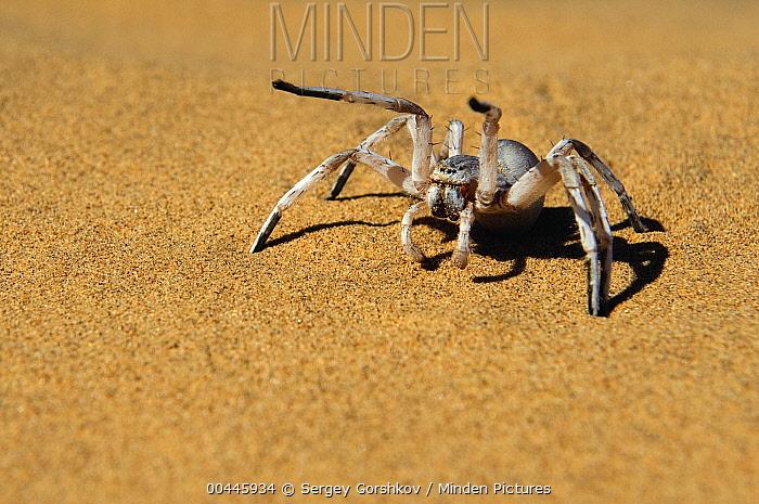 Dancing White Lady Spider (Leucorchestris arenicola) in defensive posture, Namibia  -  Sergey Gorshkov