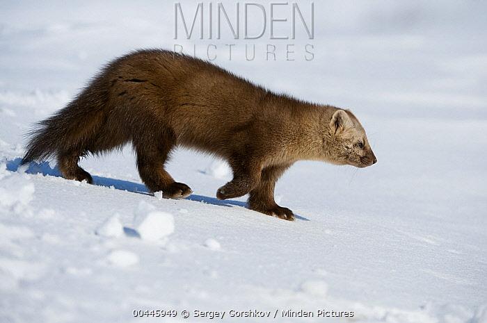 Sable (Martes zibellina) walking on snow, Kamchatka, Russia  -  Sergey Gorshkov