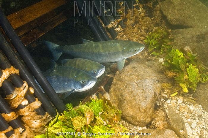 Sockeye Salmon (Oncorhynchus nerka) adults swimming through underwater monitoring system, Kamchatka, Russia  -  Sergey Gorshkov