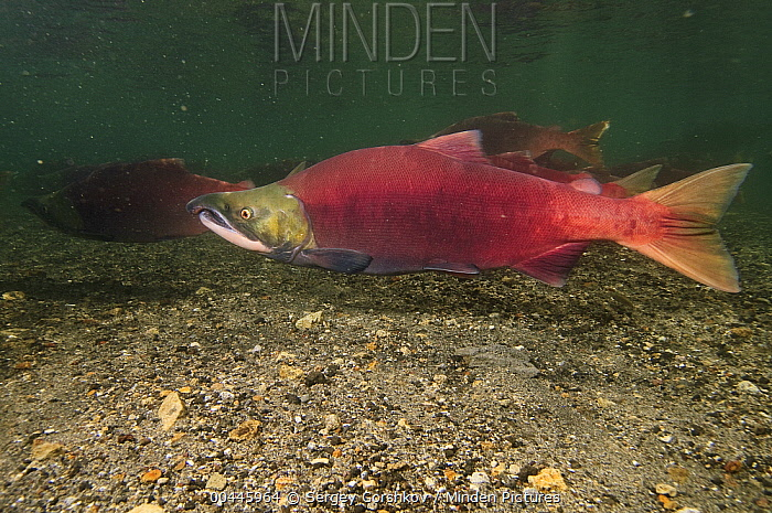 Sockeye Salmon (Oncorhynchus nerka) male in breeding coloration and morphology, Kamchatka, Russia  -  Sergey Gorshkov