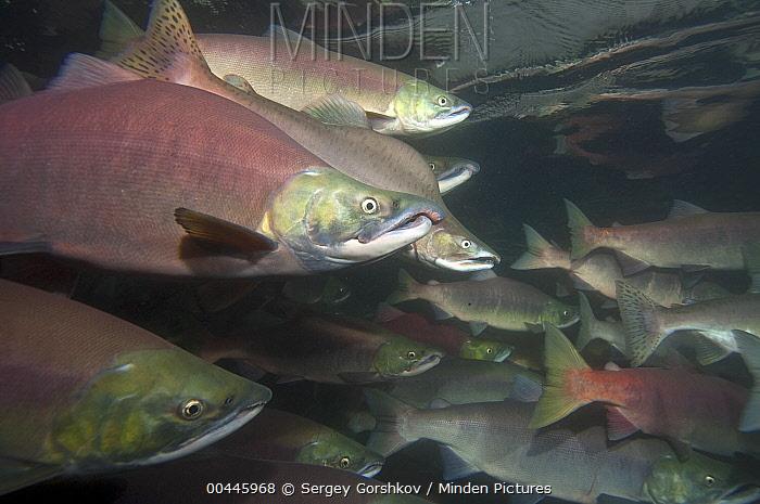 Sockeye Salmon (Oncorhynchus nerka) and Pink Salmon (Oncorhynchus gorbuscha) in breeding coloration and morphology, Kamchatka, Russia  -  Sergey Gorshkov