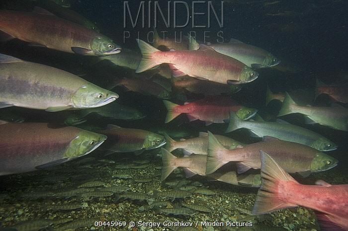 Sockeye Salmon (Oncorhynchus nerka) females in breeding coloration and morphology, Kamchatka, Russia, Kamchatka, Russia  -  Sergey Gorshkov