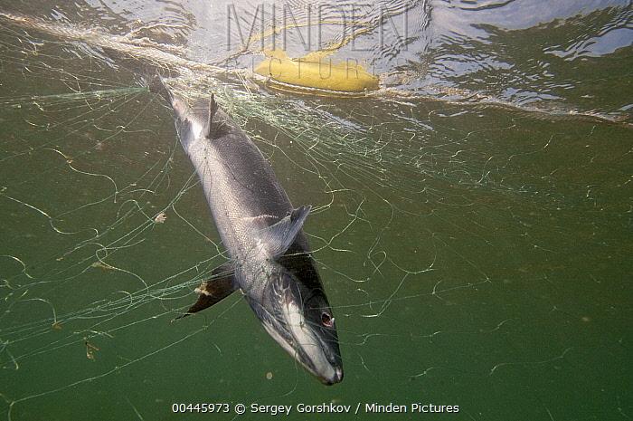 Sockeye Salmon (Oncorhynchus nerka) caught in fishing net, Kamchatka, Russia  -  Sergey Gorshkov