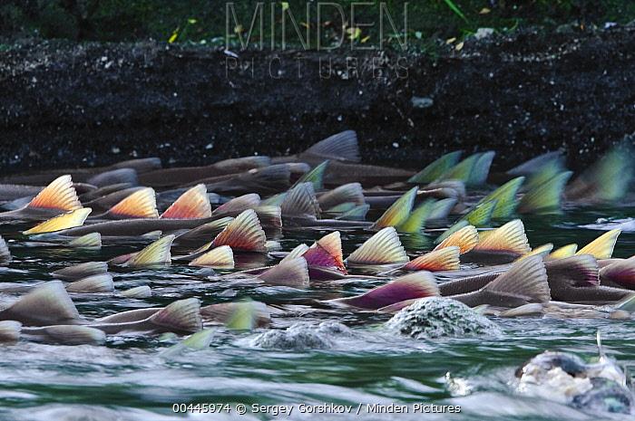 Sockeye Salmon (Oncorhynchus nerka) doral fins of group swimming upstream, Kamchatka, Russia  -  Sergey Gorshkov