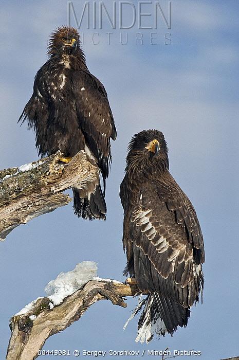 Steller's Sea Eagle (Haliaeetus pelagicus) juvenile and Golden Eagle (Aquila chrysaetos), Kamchatka, Russia  -  Sergey Gorshkov