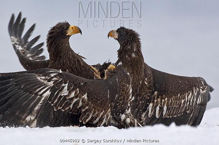 Steller's Sea Eagle (Haliaeetus pelagicus) juveniles fighting, Kamchatka, Russia  -  Sergey Gorshkov