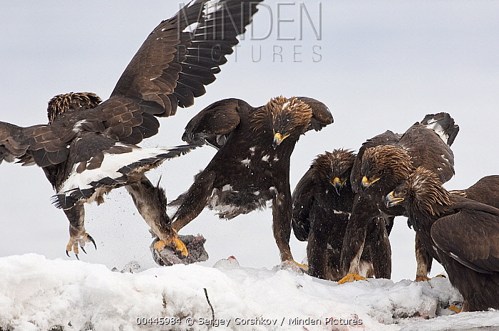 Steller's Sea Eagle (Haliaeetus pelagicus) taking prey from Golden Eagles (Aquila chrysaetos), Kamchatka, Russia  -  Sergey Gorshkov