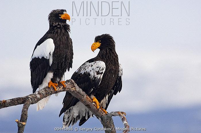 Steller's Sea Eagle (Haliaeetus pelagicus) adult and sub-adult, Kamchatka, Russia  -  Sergey Gorshkov