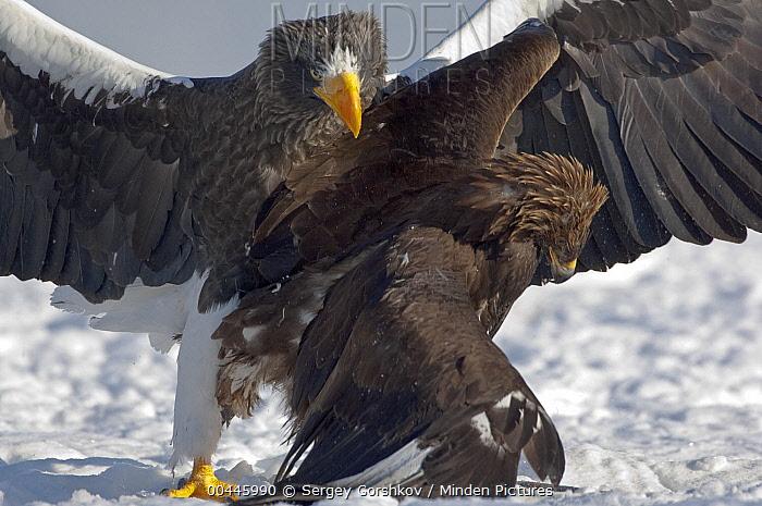Steller's Sea Eagle (Haliaeetus pelagicus) taking prey from Golden Eagle (Aquila chrysaetos), Kamchatka, Russia  -  Sergey Gorshkov