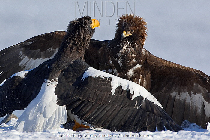 Steller's Sea Eagle (Haliaeetus pelagicus) and Golden Eagle (Aquila chrysaetos) posturing and fighting over food, Kamchatka, Russia  -  Sergey Gorshkov