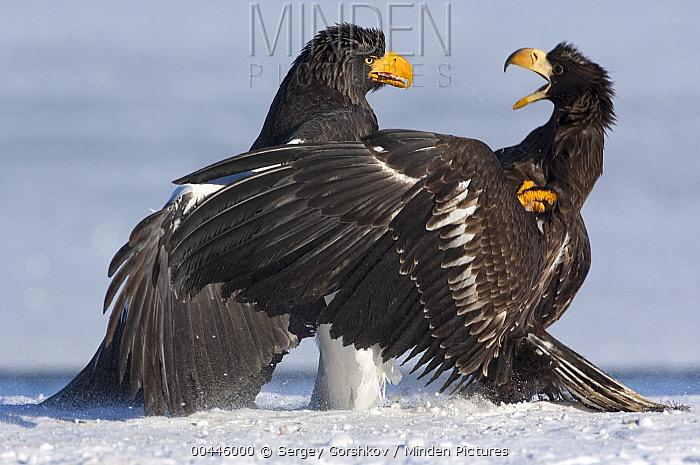 Steller's Sea Eagle (Haliaeetus pelagicus) adult and juvenile fighting, Kamchatka, Russia  -  Sergey Gorshkov