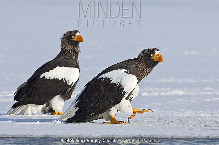 Steller's Sea Eagle (Haliaeetus pelagicus) pair on ice, Kamchatka, Russia  -  Sergey Gorshkov