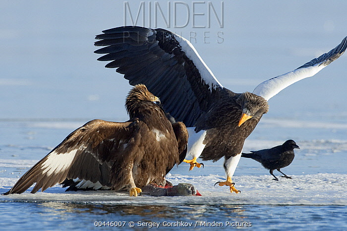 Steller's Sea Eagle (Haliaeetus pelagicus) and Golden Eagle (Aquila chrysaetos) posturing and fighting over food, Kamchatka, Russia  -  Sergey Gorshkov