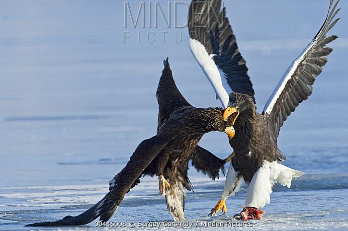 Steller's Sea Eagle (Haliaeetus pelagicus) and juvenile fighting over food, Kamchatka, Russia  -  Sergey Gorshkov