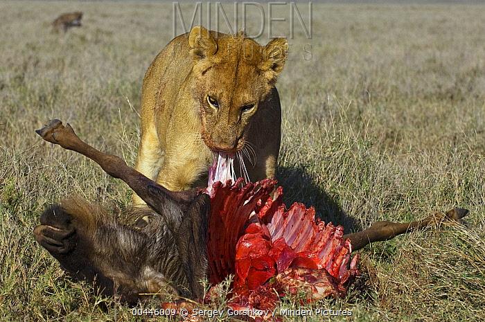 African Lion (Panthera leo) female feeding on Blue Wildebeest (Connochaetes taurinus) carcass, Botswana  -  Sergey Gorshkov