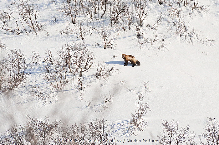 Wolverine (Gulo gulo) in snow-covered landscape, Kamchatka, Russia  -  Sergey Gorshkov