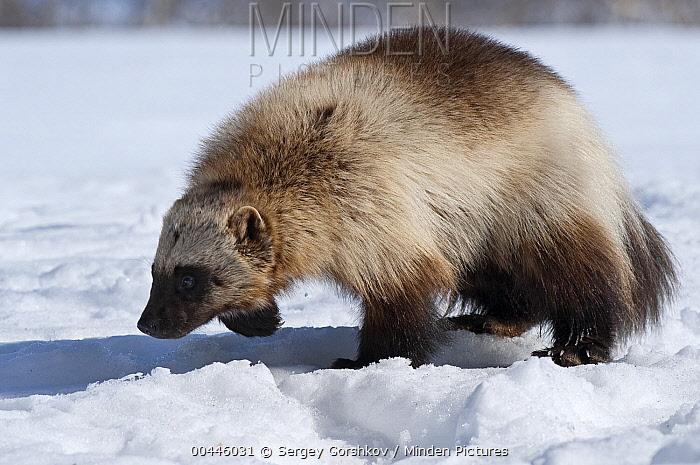 Wolverine (Gulo gulo) foraging in snow, Kamchatka, Russia  -  Sergey Gorshkov