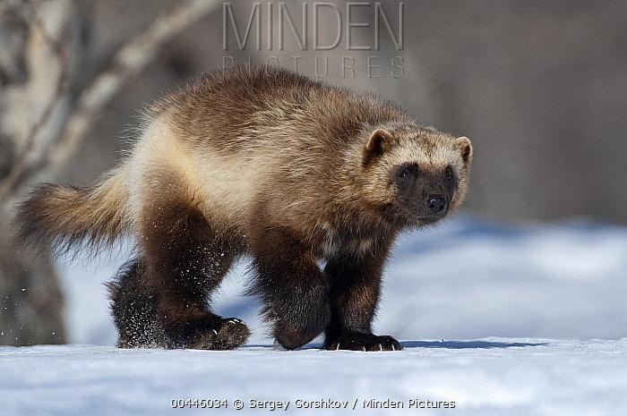 Wolverine (Gulo gulo) walking on snow, Kamchatka, Russia  -  Sergey Gorshkov