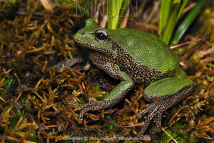 Marsupial Frog (Gastrotheca turnerorum), a newly discovered species, Podocarpus National Park, Ecuador  -  Pete Oxford