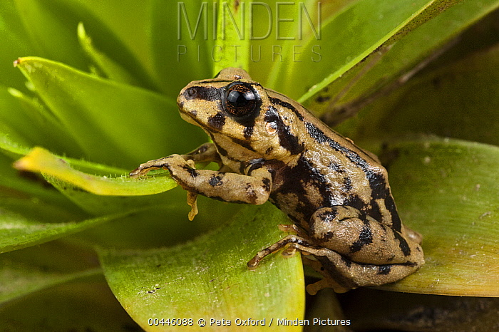 Southern Frog (Pristimantis sp), newly discovered species, Podocarpus National Park, Ecuador  -  Pete Oxford