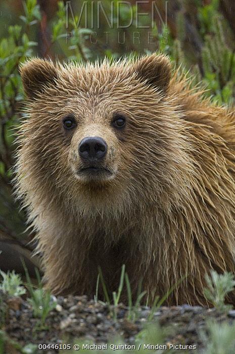 Grizzly Bear (Ursus arctos horribilis) yearling cub, Alaska  -  Michael Quinton