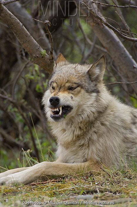 Gray Wolf (Canis lupus) snarling, Alaska  -  Michael Quinton