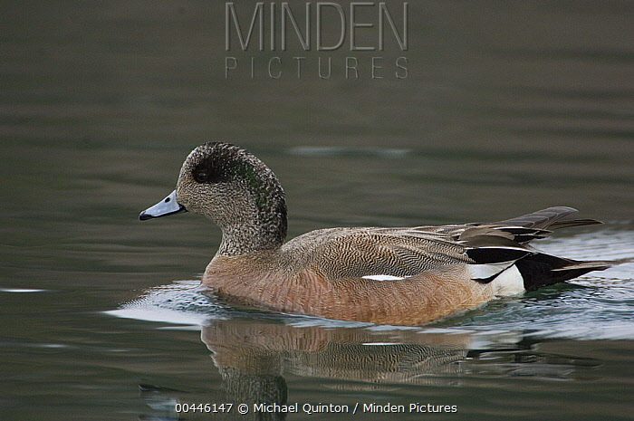 American Wigeon (Anas americana), Alaska  -  Michael Quinton