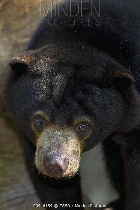 Sun Bear (Helarctos malayanus), native to Asia  -  ZSSD