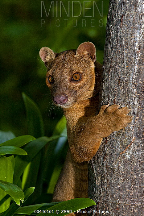 Fossa (Cryptoprocta ferox) climbing tree, native to Madagascar  -  ZSSD